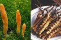 featured image thumbnail for post What is The Difference Between Cordyceps Militaris and Cordyceps Sinensis